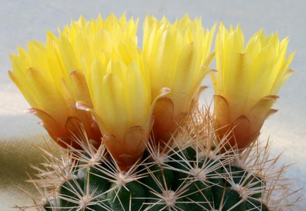 Weingartia neocumingii ´buiningiana´ FR 816 (Capadala on Río Pilcomayo, Chuquisaca, Bol)