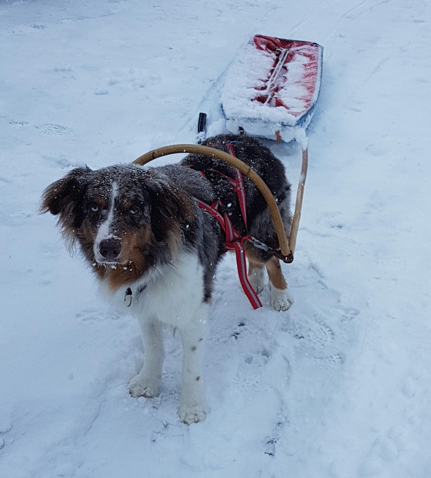 hund, sällskapsdjur, hund , päls, vit, kort, koppel, väntar