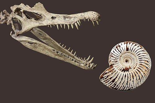 Fossil Äkta  fossiler från: - Hajar- Dinosaurier - Ammoniter -mm