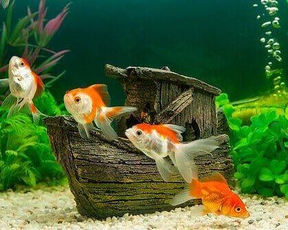 Allt för fisk och Akvarier Fiskfoder, akvarie tillbehör, dekorationer m.m. Läs mer