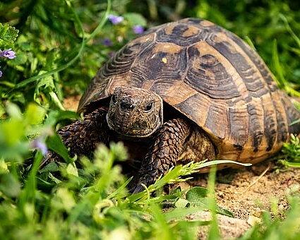 Foder till sköldpaddor Land- och vattensköldpaddor Läs mer