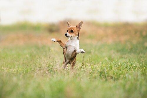 Trickskurs  Kursen för dig som vill lära din hund olika tricks och konster. Ett utmärkt sätt att aktivera din hund på och roligt att kunna visa upp för andra. Tricken kan även ge bra förkunskaper inför andra beteenden, såväl i vardagen som i tävlingslydnad, freestyle m.m.
