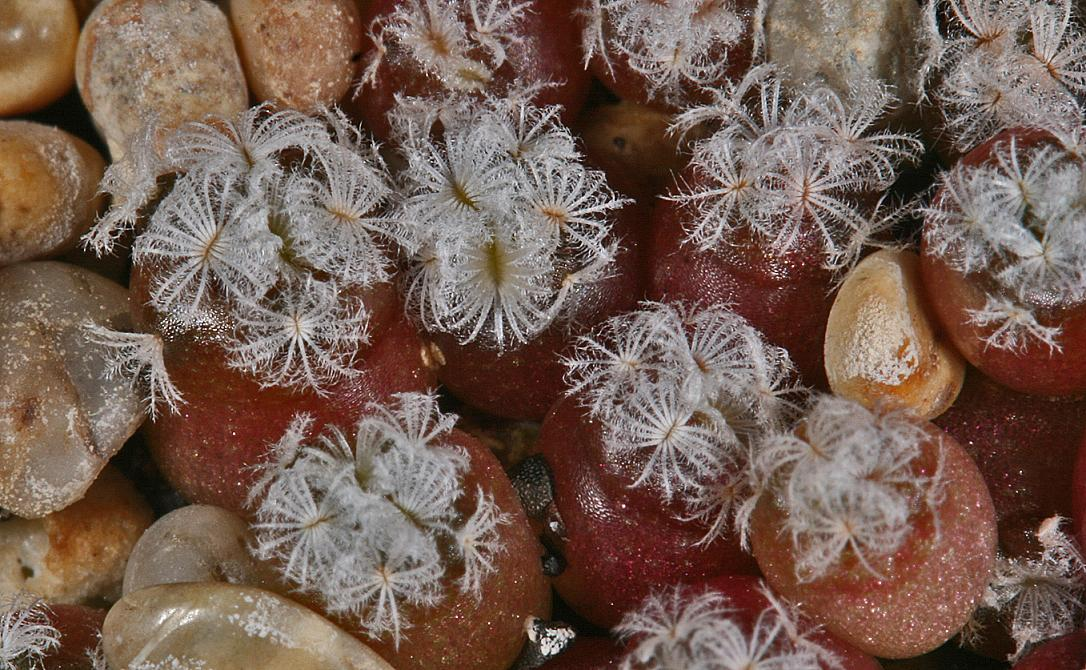 Mammillaria seedlings