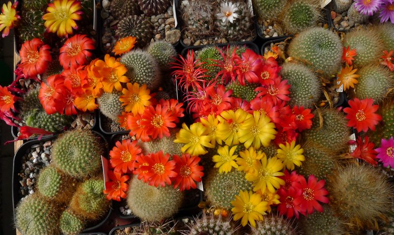 Rebutia collection