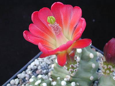 Echinocereus triglochidiatus fma inermis