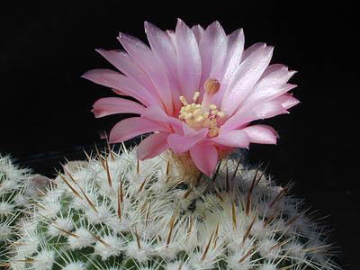 Notocactus guiterrezii