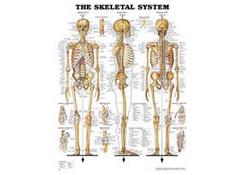 Plansch anatom. PL/PST 50x65 cm
