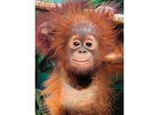 Picture 3D Baby orangutan