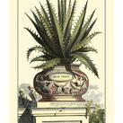 Abraham Munting - Antique Munting Aloe I