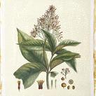 Hierseman - Crimson Botanical III