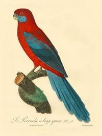 Barraband - Barraband Parrot, PL 78