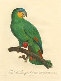 Barraband - Barraband Parrot, PL 110