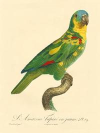 Barraband - Barraband Parrot, PL 89