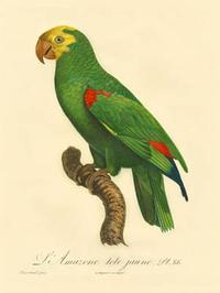 Barraband - Barraband Parrot, PL 86