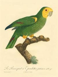 Barraband - Barraband Parrot, PL 98