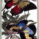 Pearson - Butterfly III