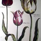Crispen De Passe - Elephant Tulips I (Oversize)