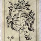 Buchoz - Embellished Antique Foliage VI