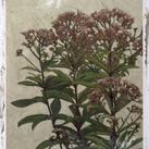Chariklia Zarris - Mauve Blooms I