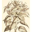 Abraham Munting - Sepia Munting Foliage III