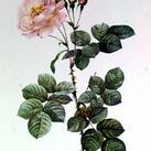 Pierre J. Redoute - Rose, Damascena Aurora