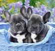 French Bulldog Puppies 1000 Bitar Castorland