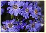 Blåaste blå
