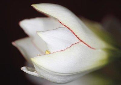 Ensam amaryllis