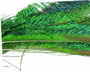 Peacock eyefeather