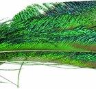 Peacock eyefeather