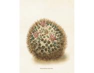 """Affisch 18x24 Kaktus """"Mammillaria discolor"""""""