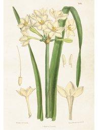 Gammaldags plansch skolplansch svenska växter Narciss shabby chic lantlig stil