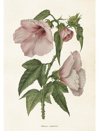 Gammaldags plansch skolplansch svenska växter Rosa Hibiscus shabby chic lantlig stil