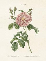 Gammaldags liten plansch skolplansch svenska växter ros Rosa Semperflorens shabby chic lantlig stil