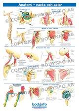 Anatomi nacke och axlar