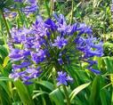 Agapanthus blå