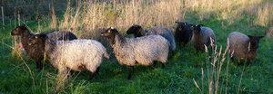 Tvättad fårull - nu även i mörkgrått