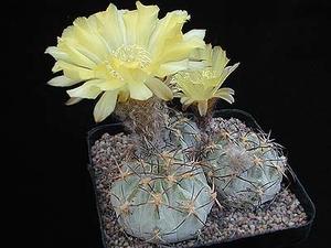 Acanthocalycium thionanthum v. glaucum P 394