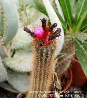 Arrojadoa rhodantha v. occibaihensis HU 208
