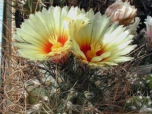 Astrophytum capricorne v. minor SB 323 (Saltillo, Mex)