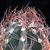 Astrophytum capricorne v. senile