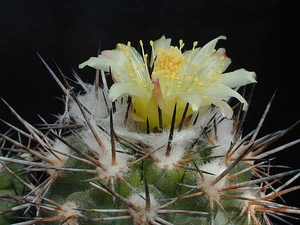 Copiapoa spec. KK 1132 (Carrizal Alto, Chile 600m)