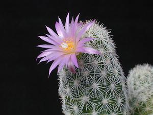 Coryphantha hendricksonii SB 1016 ( Escalon, Chihuahua, Mex)