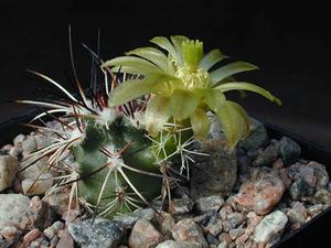 Echinocereus viridiflorus v. davisii SB 426 (Brewster Co, TX)