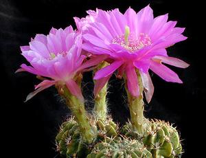 Echinopsis obrepanda 'purpurea' Lau 965 (Tapacari, Bol)