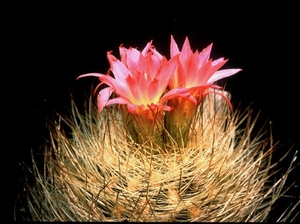 Eriosyce curvispina v. choapensis FK 425 (Cuchini)