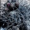 Eriosyce heinrichiana ssp. intermedia FK 461 (El Tambo)