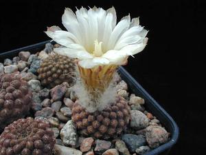 Eriosyce odieri ssp. glabrescens FK 53 (S Totoral, 40m)