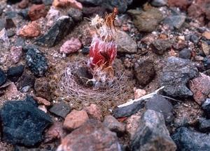 Eriosyce odieri v. monte-amargensis FK 522 (Monte Amargo)