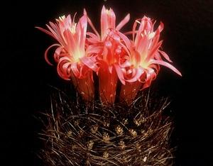 Eriosyce senilis 'multicolor' FK 423 (Quelen)